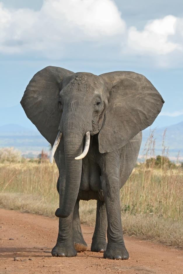 Elefant. Helga