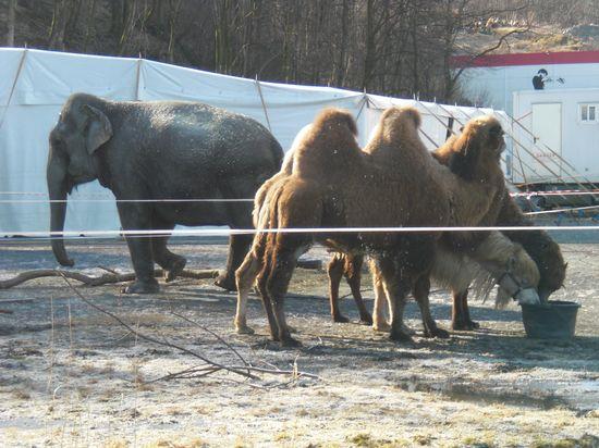 Elefant og Kamel. Helga