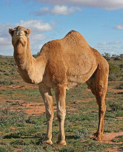 Kamel.Helga